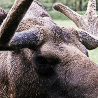 thumbs-moose-01.jpg