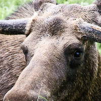 thumbs-moose-03.jpg